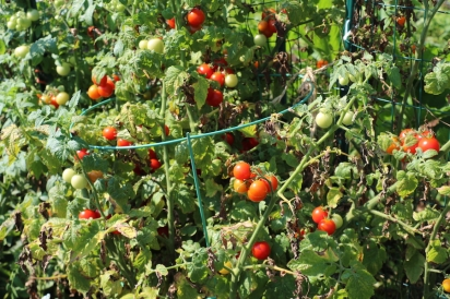 Tomatoes growing in abundance at the Garden in the Park