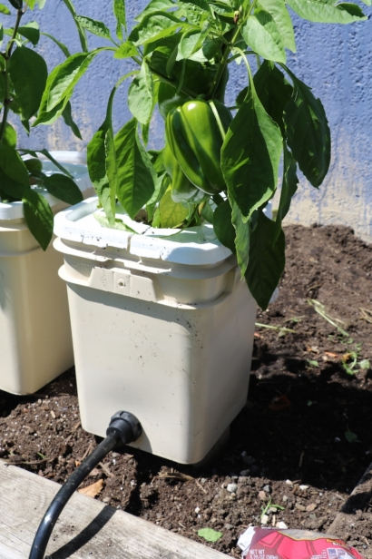 Green peppers growing in Rich's hydroponic garden bed