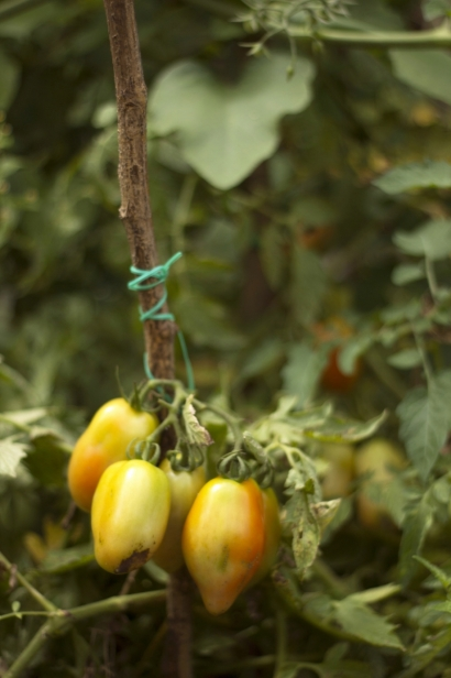 Tomatoes at La Finca